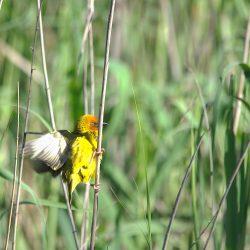 <b>Cape Weaver (Ploceus capensis) @ Addo Elephant Park</b> | Kamera: NIKON D610 | Brennweite: 500mm | Blende: ƒ/8 | Verschlusszeit: 1/400s | ISO: 200