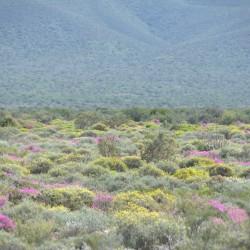<b>Blooming Little Karoo</b> | Kamera: NIKON D610 | Brennweite: 290mm | Blende: ƒ/10 | Verschlusszeit: 1/320s | ISO: 200