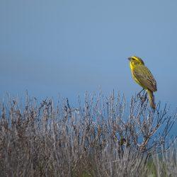 <b>Yellow Canary (Crithagra flaviventris) @ De Hoop Nature Reserve</b> | Kamera: NIKON D610 | Brennweite: 500mm | Blende: ƒ/7.1 | Verschlusszeit: 1/1250s | ISO: 200