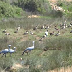 <b>Blue cranes and Egyptian geese</b> | Kamera: NIKON D610 | Brennweite: 500mm | Blende: ƒ/9 | Verschlusszeit: 1/320s | ISO: 200