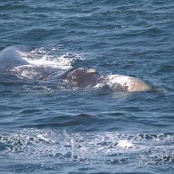 <b>Southern Right whale (Eubalaena australis)</b> | Kamera: NIKON D610 | Brennweite: 500mm | Blende: ƒ/6.3 | Verschlusszeit: 1/640s | ISO: 200