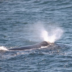 <b>Southern Right whale (Eubalaena australis)</b> | Kamera: NIKON D610 | Brennweite: 400mm | Blende: ƒ/6.3 | Verschlusszeit: 1/500s | ISO: 200