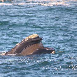 <b>Southern Right whale (Eubalaena australis)</b> | Kamera: NIKON D610 | Brennweite: 500mm | Blende: ƒ/6.3 | Verschlusszeit: 1/400s | ISO: 200
