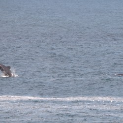 <b>Jumping whale (Southern Right whale (Eubalaena australis)?)</b> | Kamera: NIKON D610 | Brennweite: 270mm | Blende: ƒ/6.3 | Verschlusszeit: 1/800s | ISO: 200