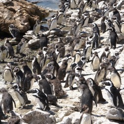 <b>African penguins (Spheniscus demersus)</b> | Kamera: NIKON D610 | Brennweite: 150mm | Blende: ƒ/20 | Verschlusszeit: 1/100s | ISO: 200