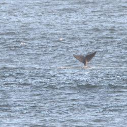 <b>Southern Right whale (Eubalaena australis)</b> | Kamera: NIKON D610 | Brennweite: 500mm | Blende: ƒ/16 | Verschlusszeit: 1/60s | ISO: 200
