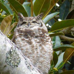 <b>Spotted Eagle-Owl (Bubo africanus africanus)</b> | Kamera: DMC-TZ41 | Brennweite: 86mm | Blende: ƒ/6.4 | Verschlusszeit: 1/60s | ISO: 200